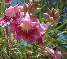 Desert Willow Seeds Small Deciduous Rapid Growth Tree Large Showy Flower Scented