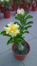 4 Rare Yellow White Desert Rose Seeds Adenium Perennial Flowers 250 Us Seller