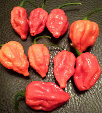 40 X Fatalii Gourmet Jigsaw Chilli Seeds 100% Extreme Heat Original Uk Grown.
