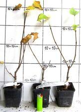 """Catalpa bignonioides  """"Nana""""  /    Kugel - Trompetenbaum    (Pflanze)"""