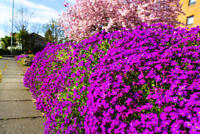 Aubretia Purple Seeds Perennial Shrub Frost Hardy Low Growing Ground Cover