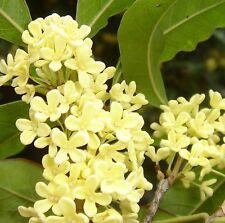 Silver Sweet Olive - Osmanthus fragrans 5 seeds fragrant CombSH K21