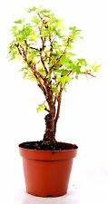 "Maple Grape Leafed Begonia - 4"" Pot House Plants Gift Holiday Easy Care Hardy"