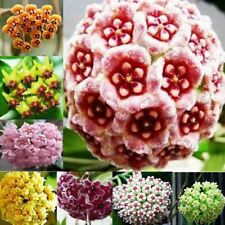 100Pcs Mixed Color Hoya Seeds Garden Supplies Decoration Potted Flower Seeds