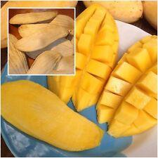 Thai Mango 5 Seeds, Tropical Fruit Seeds, Namdokmai Sithong, Seeds For Planting