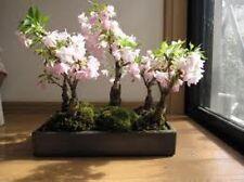12 Japanese Flowering Cherry Seed Imported Prunus Serrulata Bonsai - Landscape