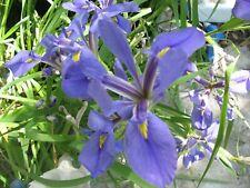 LOUISIANA LITE BLUE-PURPLE IRIS - 1 Heathy Plant