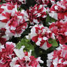 DOUBLE Madness RED & WHITE ~ PETUNIA ~ 25 Pelleted SEEDS