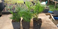"5 beautiful sago palmsThe seedlings are approx. 9-12 ""tall FREE SHIPPING"