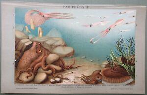 Cephalopod Octopus & Squid Argonaut Cuttlefish Original Antique Print 1898