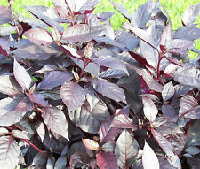 ALTERNANTHERA PURPLE KNIGHT Alternanthera Brasiliana - 100 Bulk Seeds