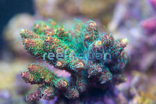 ReefNation El Donald Hairy Milli-Coral Frag SPS Monti LPS Zoa