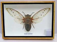XL Cicada speciosa - echtes Insekt im Schaukasten aus Holz  cicade cicada