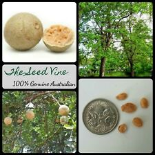 10+ WOOD APPLE TREE SEEDS (Limonia acidissima) Rare Edible Sacred Medicinal
