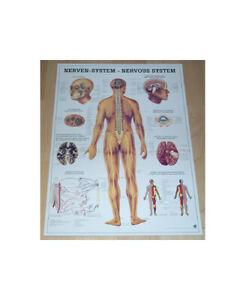 NEU Anatomie Lehr Poster Das Nervensystem des Menschen