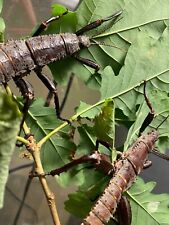 1 Couple Eurycantha calcarata L3-l4 (stick insect /phasme / Phasmid) Phasme Cuir