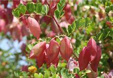 """> ungewöhnliche Früchte trägt der wundersame Blasenstrauch """"Colutea arborescens"""""""