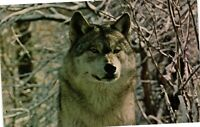 Vintage Postcard - Male Timber Wolf Closeup Picture Pack Leader Un-Posted #2169
