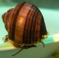 5 Chestnut Mystery Snails Live Freshwater Aquarium Snails