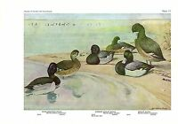 "1936 Vintage FUERTES BIRDS #17 ""SCAUPS, RING-NECKED DUCK"" Color Plate Lithograph"