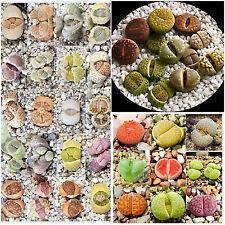 50 graines de mix Lithops, pierres vivantes, plantes semi-succulentes F