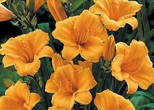 Daylily Seeds - STELLA D'ORO - Tangerine - Rebloomer - 10 Fresh Seeds