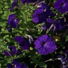 Petunia- Alderman- 100 Seeds - 50 % off sale
