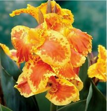 5 Bulbs tall Yellow Florence Vaughan Canna Lilly Yellow Red Orange Rhizomes