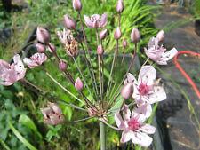 Schwanenblume Butomus umbellatus Teichpflanzen Teichpflanze Sumpfpflanze