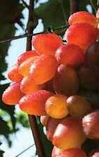 Vitis vinifera Sladuschka kernlose rote Weintraube veredelt & Neuaustrieb