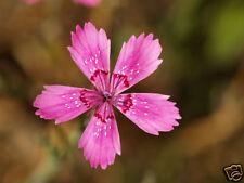 20 graines OEILLET A DELTA(Dianthus Deltoides)G427 MAIDEN PINK SEEDS SAMEN SEMI
