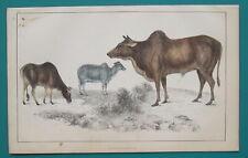 Bulls Cows Mammals - 1853 Hand Colored Antique Print