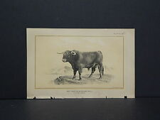 Cows Bulls Cattle Dairy Farming 1888 Engraving #100 Two Year Old Hichland Bull