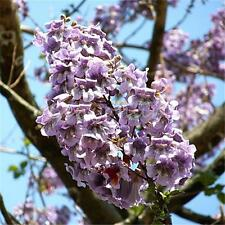 50pcs Paulownia Seeds - Princess Royal Tree Tomentosa Fastest Growing Shade Tree