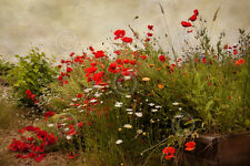 Poppy Garden by David Lorenz Winston Art Print Poster Flower Floral Photo 13x19