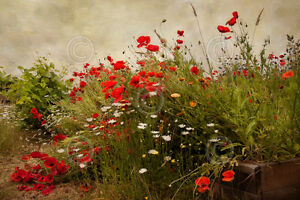Poppy Garden by David Lorenz Winston Art Print Poster Flower Floral Photo 24x36