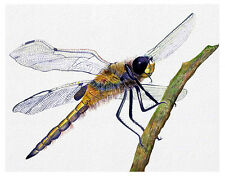Dragonfly Insect Watercolour Painting A4 Signed Limited Edition Print Wildlife