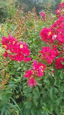 Dynamite Crape Myrtle Flower Plants 5 Gal. Plant Tree Red Flowers Grow Trees Now