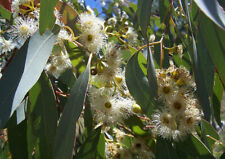 100Pcs Seeds Eucalyptus Tree Shrubs Plants Rare Types Heirloom in Home Garden