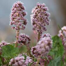 BUTTERBUR (Petasites hybridus) 150 seeds
