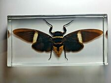 TOSENA ALBATA CICADA. Real insect immortalized in clear casting resin.