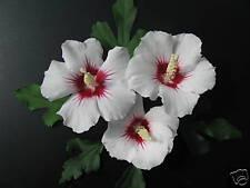 Eibisch Hibiscus syriacus Red Heart 40-60cm Sommerblüher