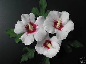 Eibisch Hibiscus syriacus 'Red Heart' Sommerblüher 40-60cm