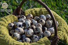 105+ Jumbo Brown COTURNIX and TEXAS A&M QUAIL HATCHING EGGS + FREE Egg Scissors