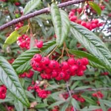 Cotoneaster salicifolius - Willow leaved Evergreen Shrub in 9cm Pot