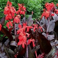 Red Canna Lily rhizome with dark leaves WA