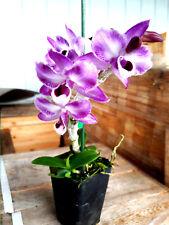 Dendrobium anosum (Hono Hono) Parishii fma Trilabelo, orchid plant Cold Weather