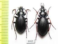 Carabus (Morphocarabus) odoratus ? melleus, pair, Russia, Siberia