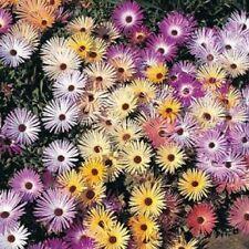 Mesembryanthemum Alfombra Mágica Mixto 500 Semillas libre de envío