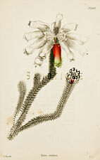 "Loddiges Flower Print - ""ERICA MAFSONI"" - Hand Colored Engraving - 1818"